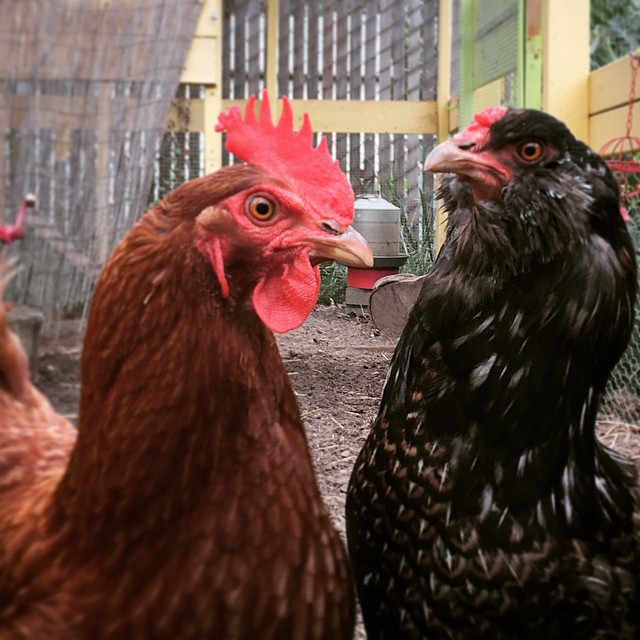 """""""Looking for trouble?"""" -- Waffles and Edie the Hens"""