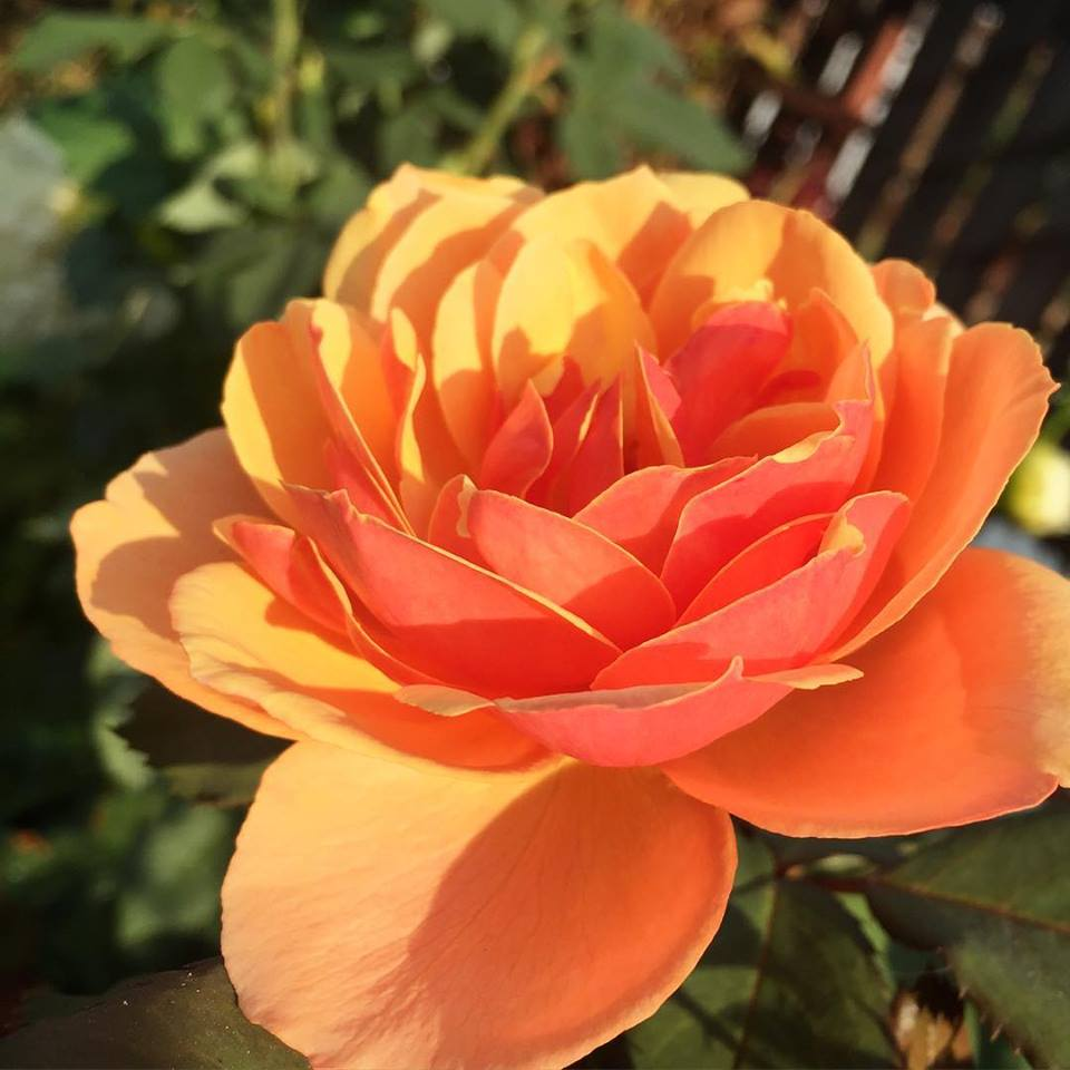 Rose with peach and salmon colored petals.