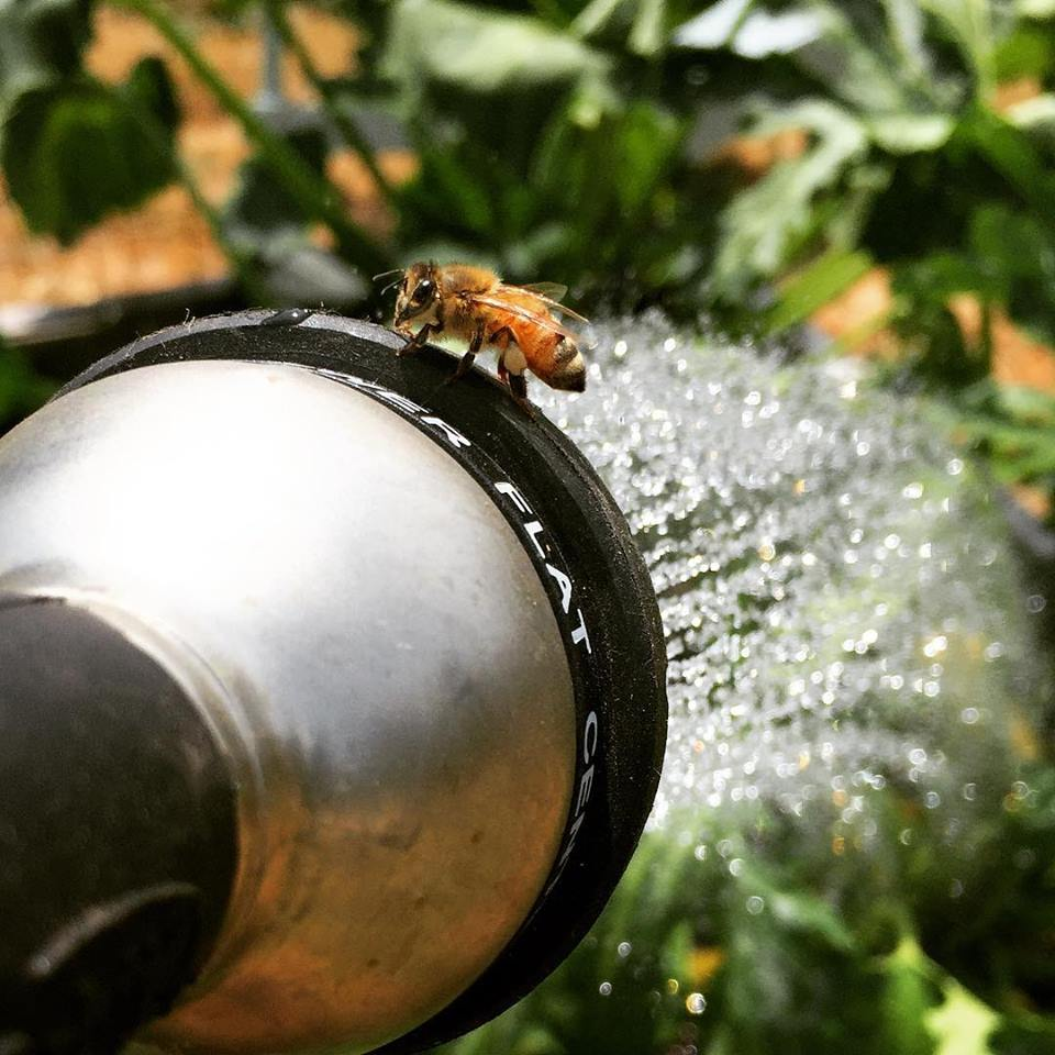 Honeybee standing on a silver garden nozzle that is spraying water.