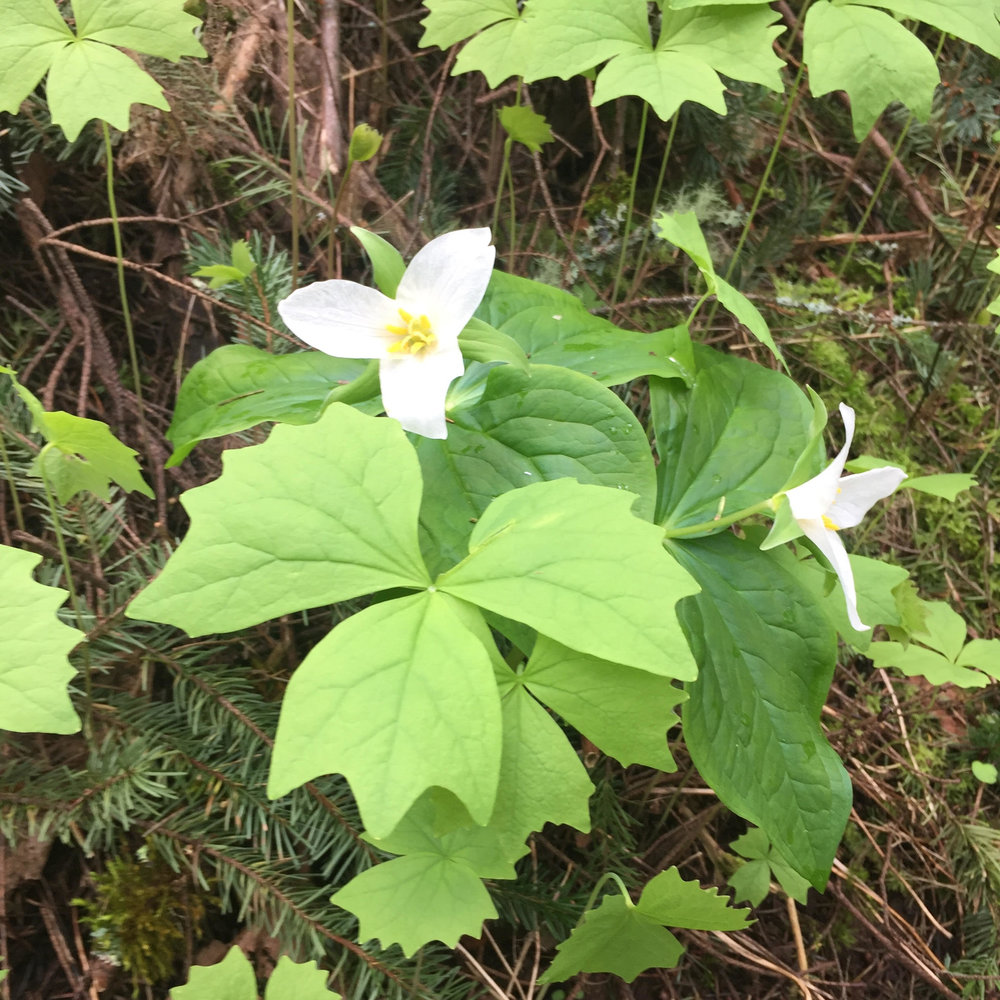 Trillium flower with three white petals above three green leaves.