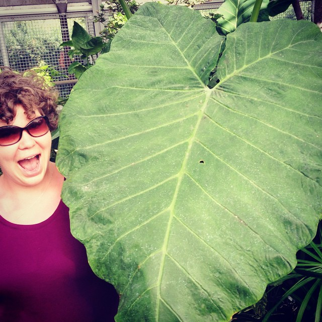 A woman with short, curly brown hair wearing sunglasses and a purple shirt while standing next to a three-foot-wide leaf from the tropical Colocasia plant.