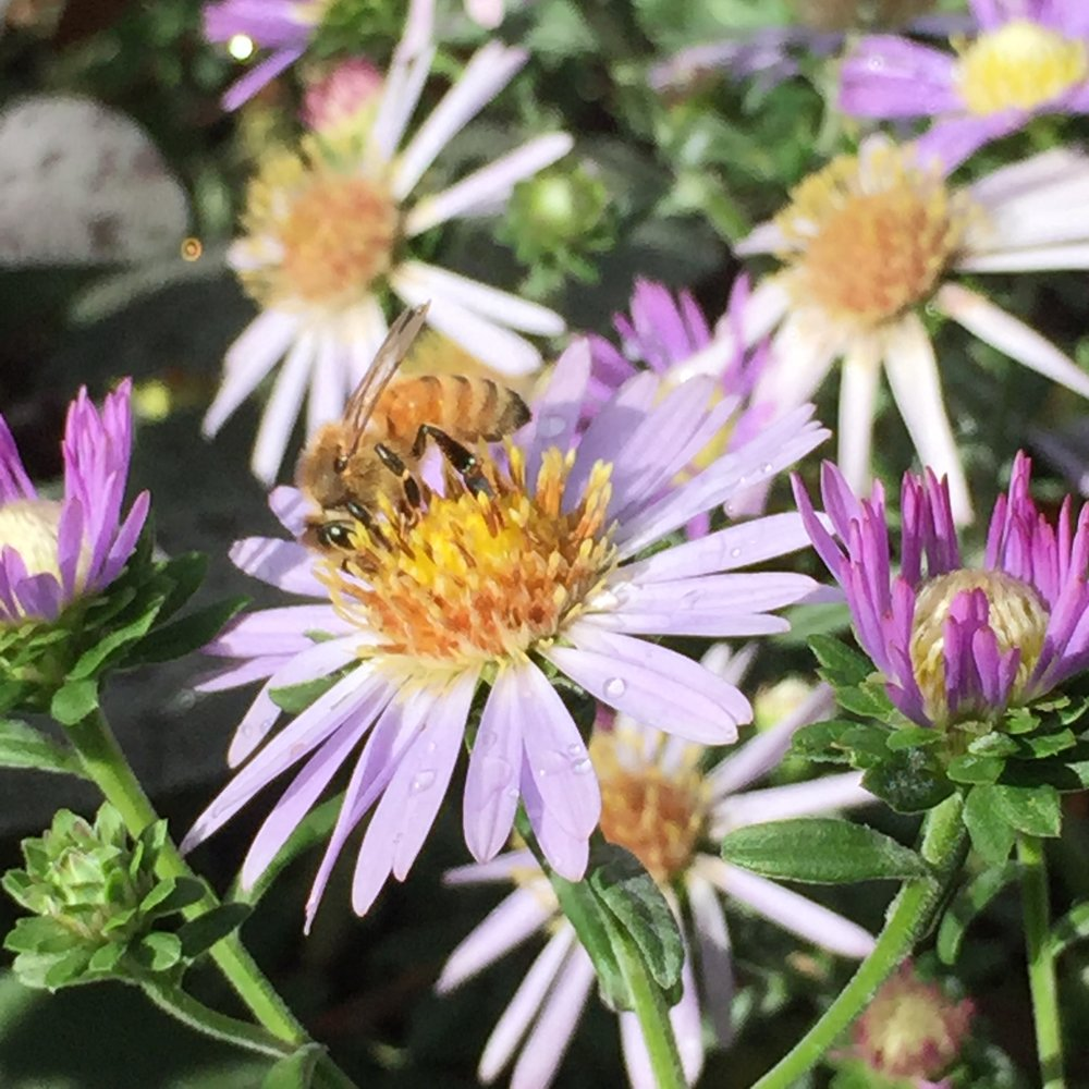 Aster flowers provide late summer and fall food for pollinators.