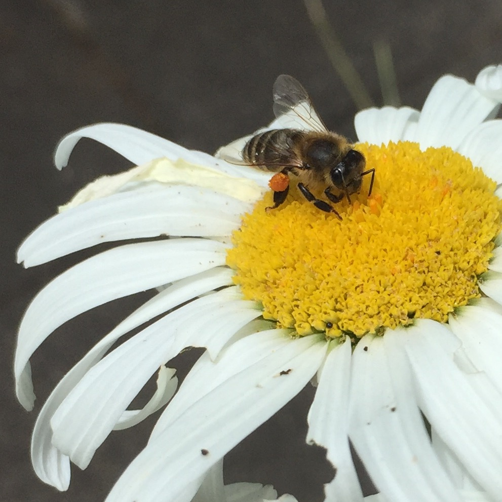Summer-Shasta daisy with bee.jpg