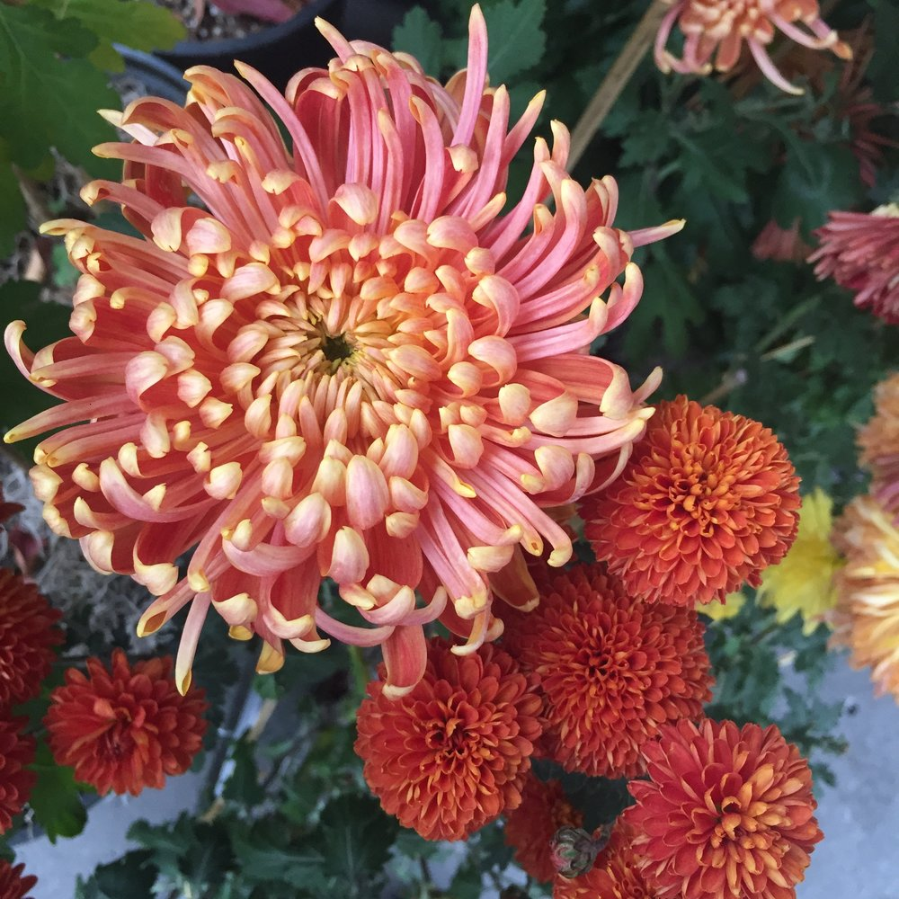 Chrysanthemum flower with thin, slightly curled pink and yellow petals.