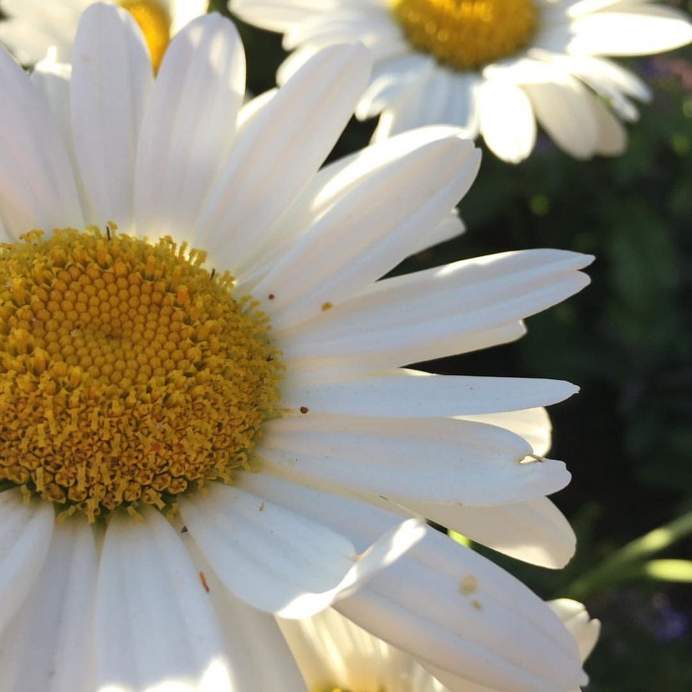 Shasta daisy flower with white petals and a yellow center.