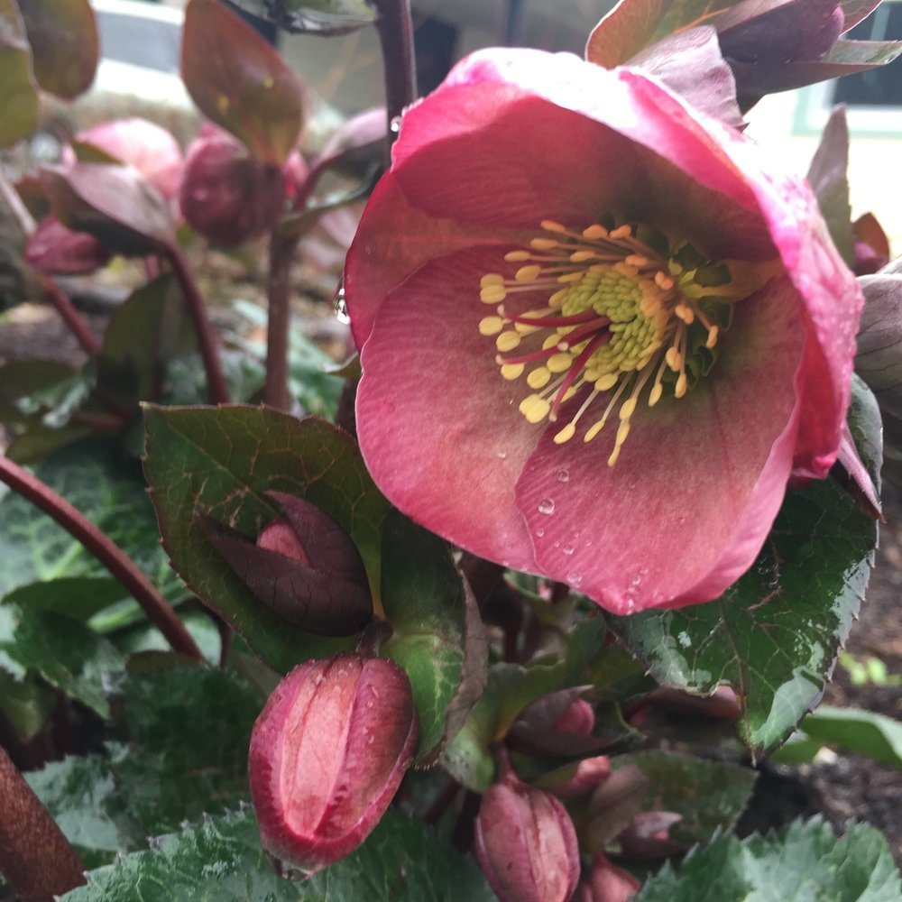 Pink flower with yellow center from a Hellebore plant.