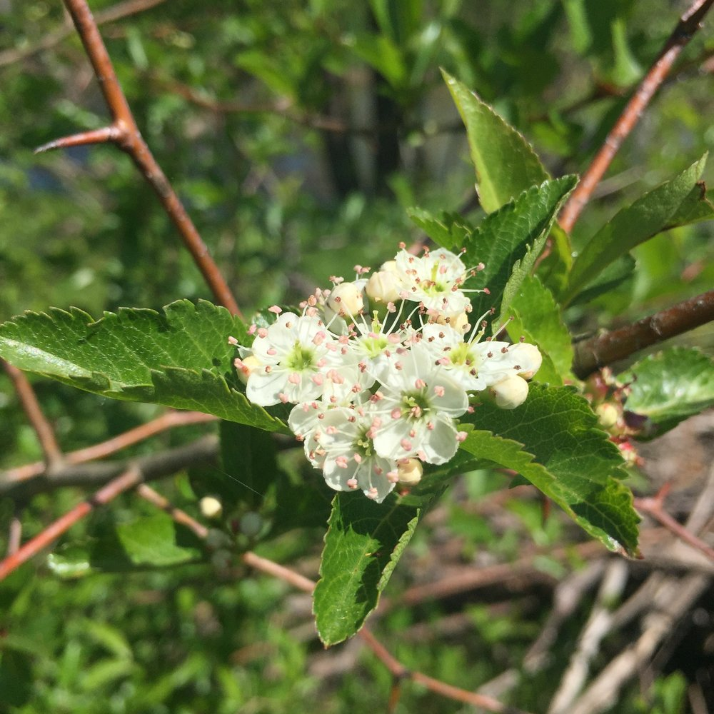 Small white flowers above green leaves and brown stems.