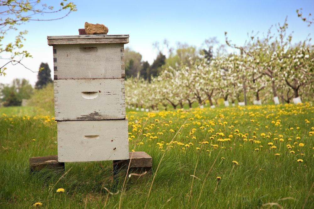 Beehives in backyard