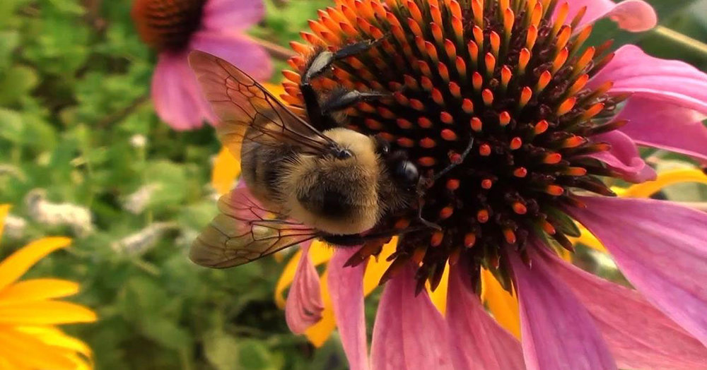 BeeConeFlower.jpg