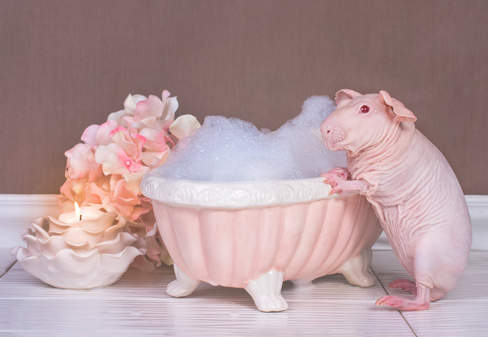 Boudoir Guinea  - Published around the world by Cater's News Agency January 2015Bored Panda:http://www.boredpanda.com/nude-guinea-pig-bath-time-erin-bonilla/The Dodo:https://www.thedodo.com/guinea-pig-poses-fully-nude-bath-time-photos-1555793344.htmlThe Daily Mail:http://www.dailymail.co.uk/news/article-3397680/Cute-creepy-Photographer-captures-Strawberry-Shortcake-bald-guinea-pig-enjoying-bubble-bath.htmlAnd many more!