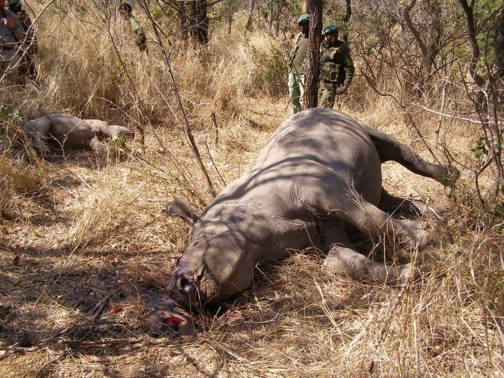As horrific as this photograph is, it is important that people see the reality of poaching. This is not being done by hungry people who are just trying to feed their families – it is being done by brutal organized crime killers who switch from killing rhinos to killing elephants to human trafficking and armed robbery.