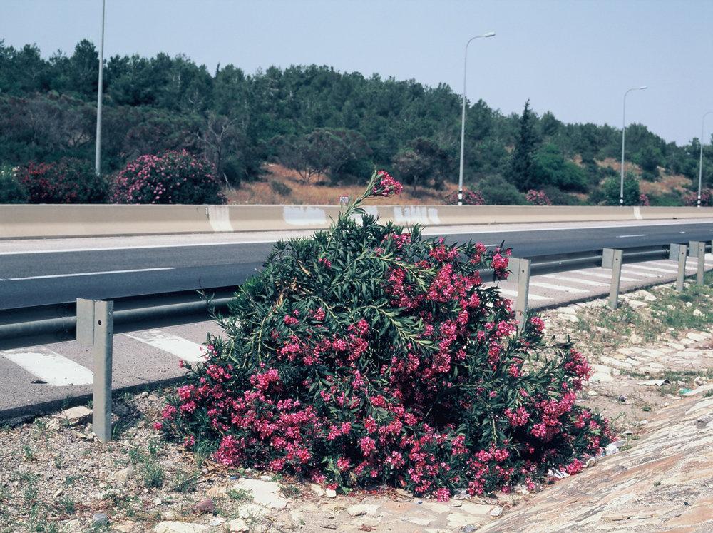 Nerium Oleander, 2016