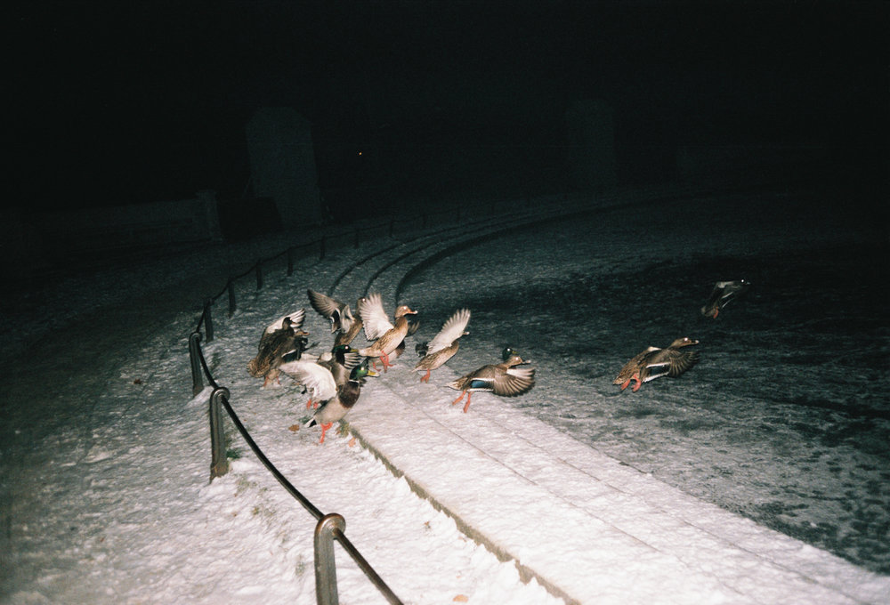 Ducks (on my Birthday), 2016