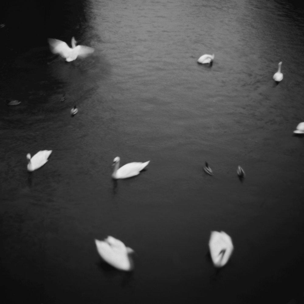 Swans, 2014