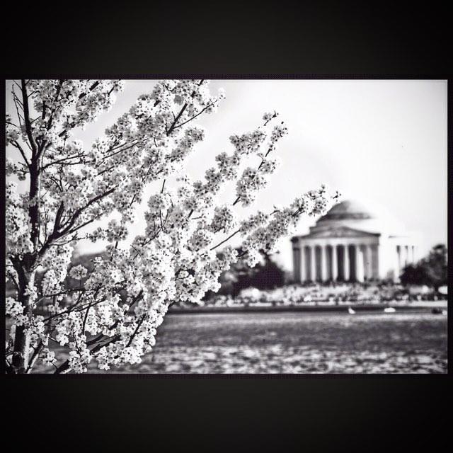 #cherryblossom #cherryblossoms #cherryblossomfestival #dc #dcphotography #mydc #dc #nova #fairfax #alexandria #sterlingvirginia