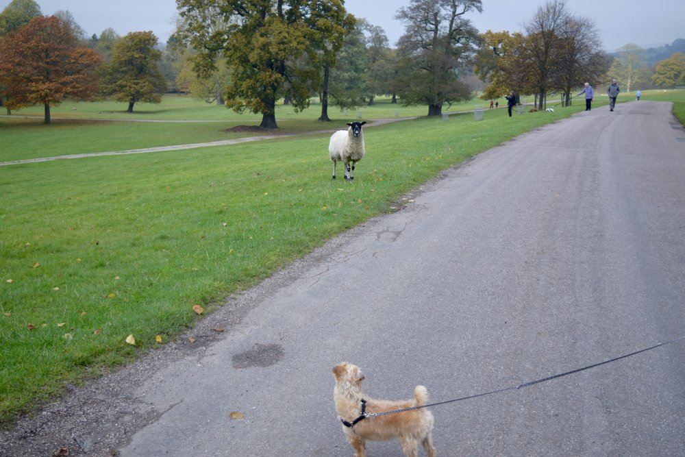 Penny meets sheep