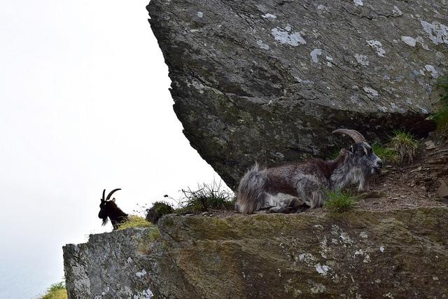 Goats on the cliffs