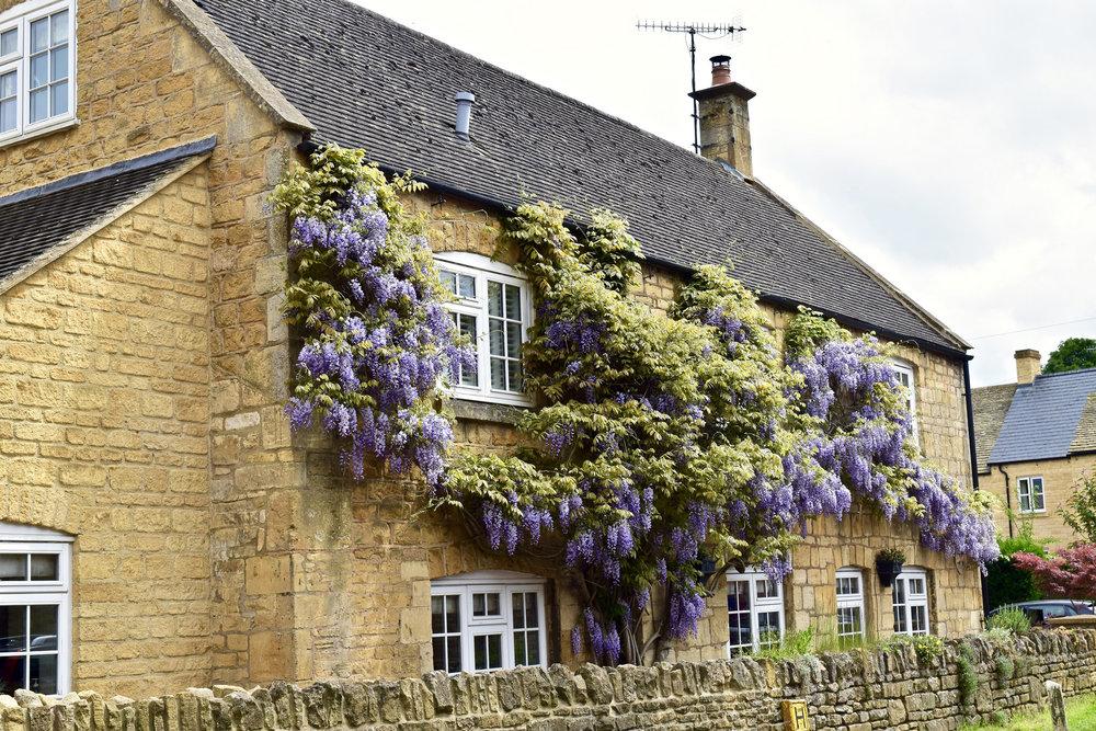 Purple Wysteria