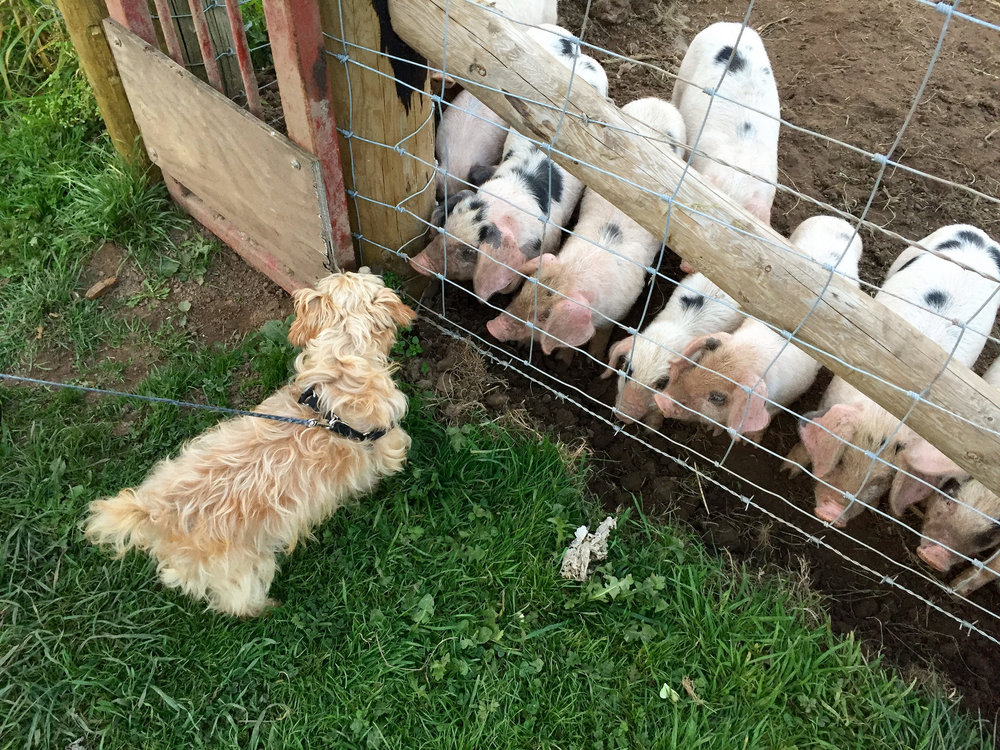 Penny and Piglets