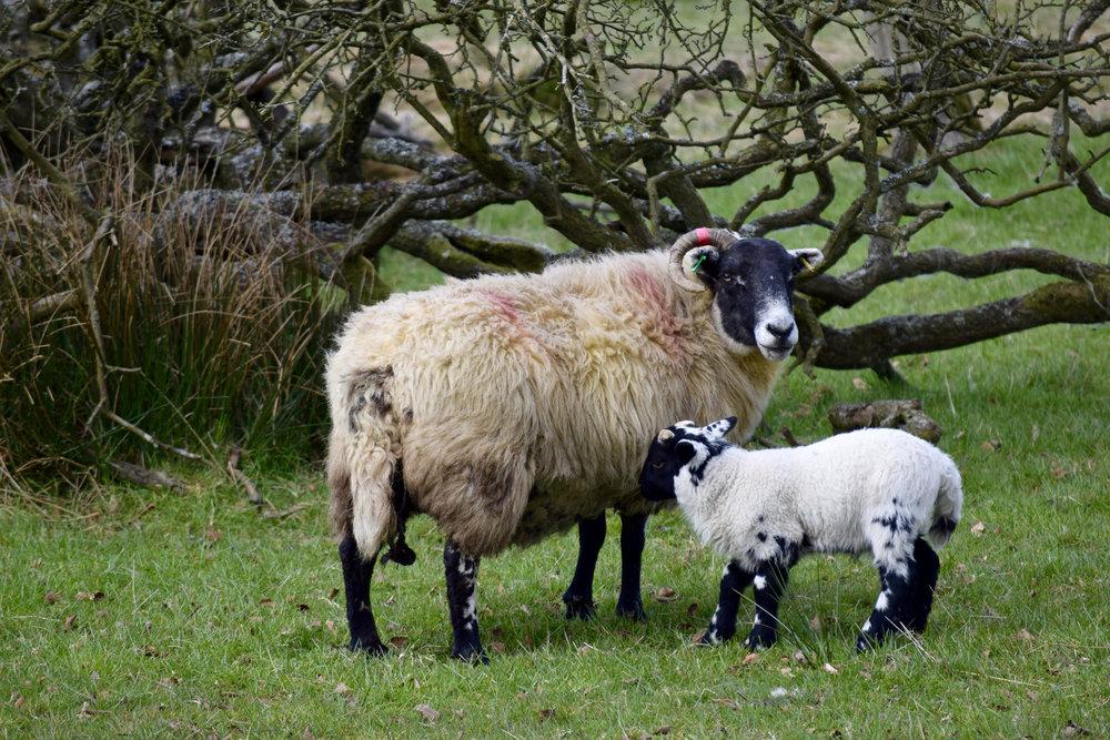 Sheep and lamb.jpg