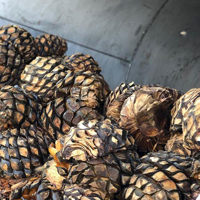 Micro batch.  #agavelove #highlands #cookedagave . . . #tequila #mezcal #elpintor #microbatch #craftcocktails #artisanspirits #craftspirits #luxuryspirits #jalisco #drinks @panoramamezcal #thirsty