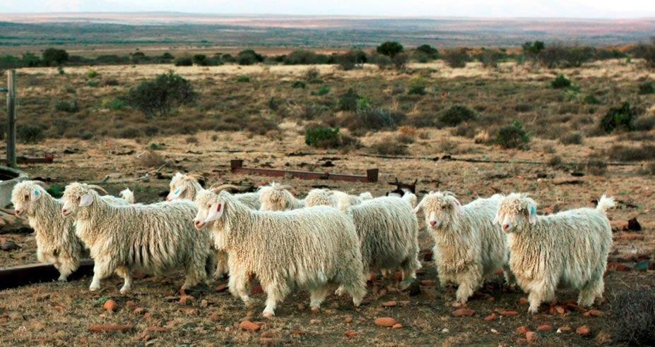 mohair-goat-fibres-textile-luxury-quality.jpg