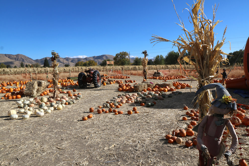 Ferrari Farms Pumpkin Patch in Reno, Nevada. A MUST visit in the fall.
