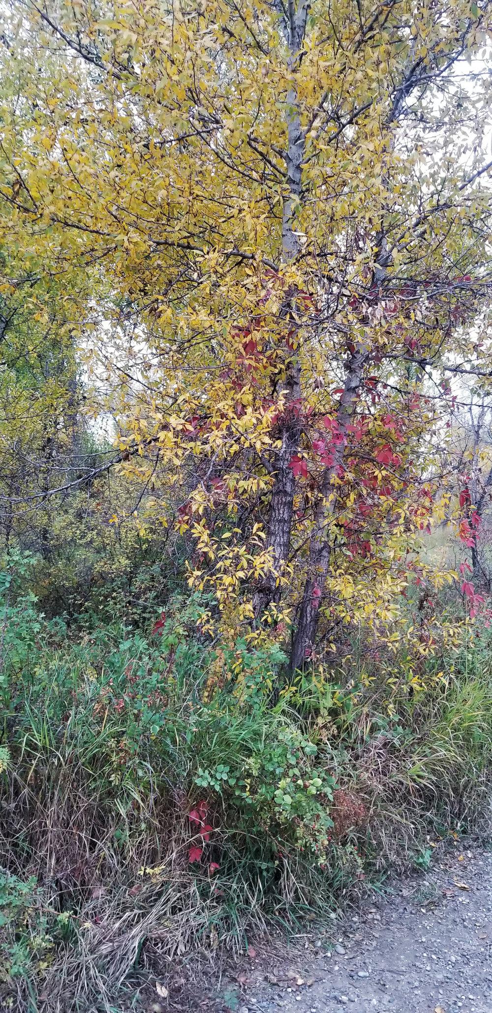 Beautiful falls colors in Billings, Montana