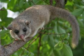 The  loir,  known as the edible dormouse. It was considered a delicacy by the Etruscans and the Romans, who kept them in ceramic jars, fattened them on chestnuts, acorns and walnuts, dipped them in honey and rolled them in poppy seeds before roasting them.