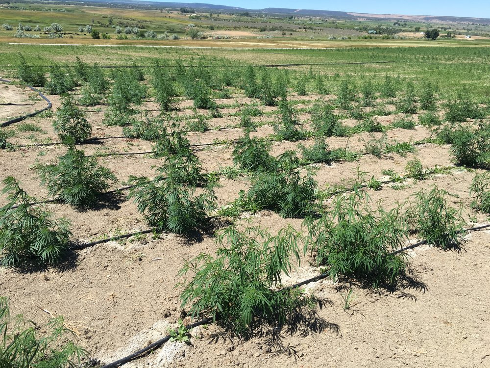 Organically cultivated Colorado hemp. Nothing we sell is grown anywhere else other than beautiful sunny Colorado!