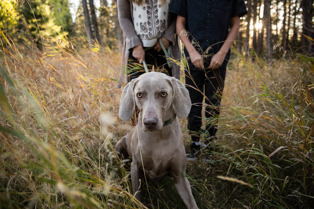 Weimaraner, park, field with boy and mom, calgary, photographer, family