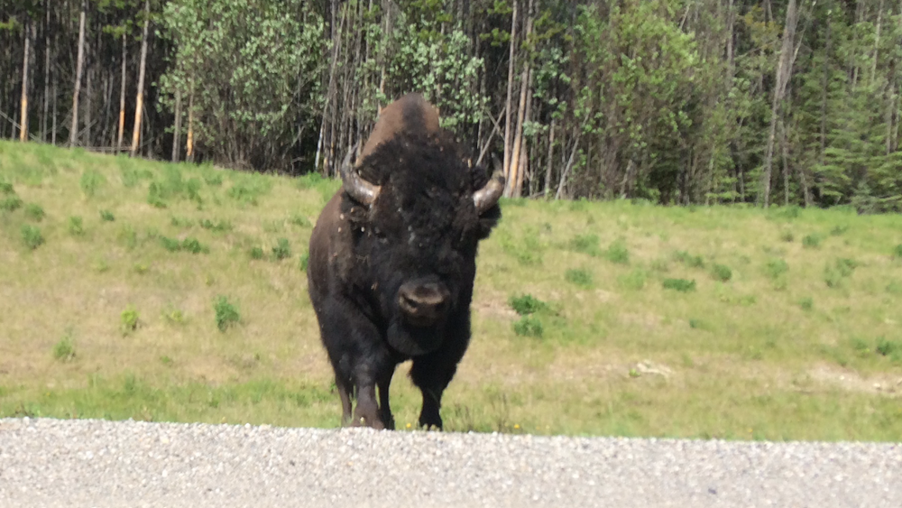 This guy wasn't too happy with me... I had my foot over the gas pedal and I was ready to punch it if this thing charged me.  One of the risks I take to get content for my website :)