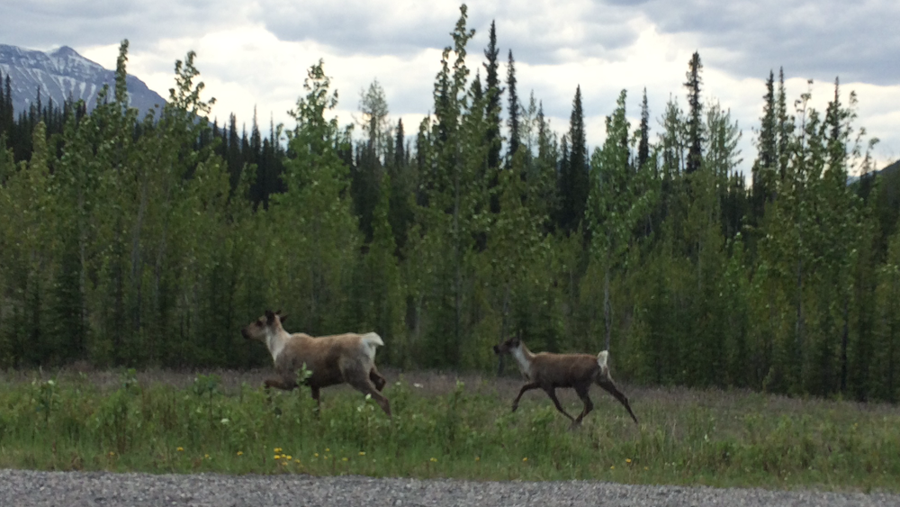 Caribou... I think? Hard to tell the difference with elk, reindeer, etc.