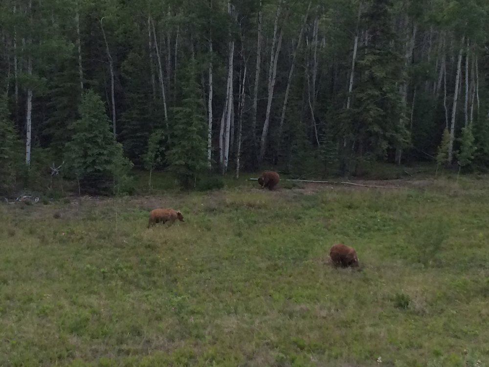 Grizzlies grazing.