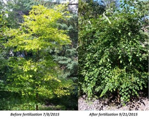 Tree fertilizer before and after