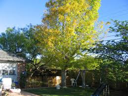 Tree suffering from leaf chlorosis