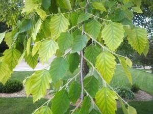 Leaf chlorosis (lack of chlorophyll)