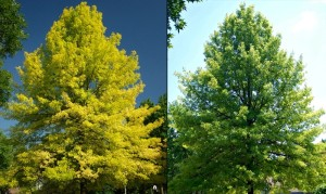 River birch before leaf chlorosis treatment and after