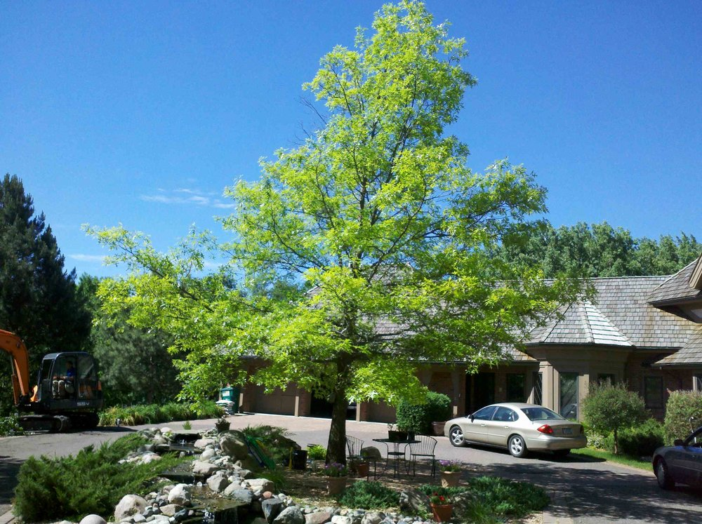 Pin oak in a driveway island, there is limited root space and radiant heat from the asphalt