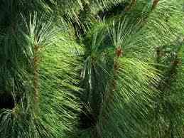 Pine-Tree-Needles.jpg