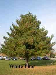 White-Pine-Tree.jpg