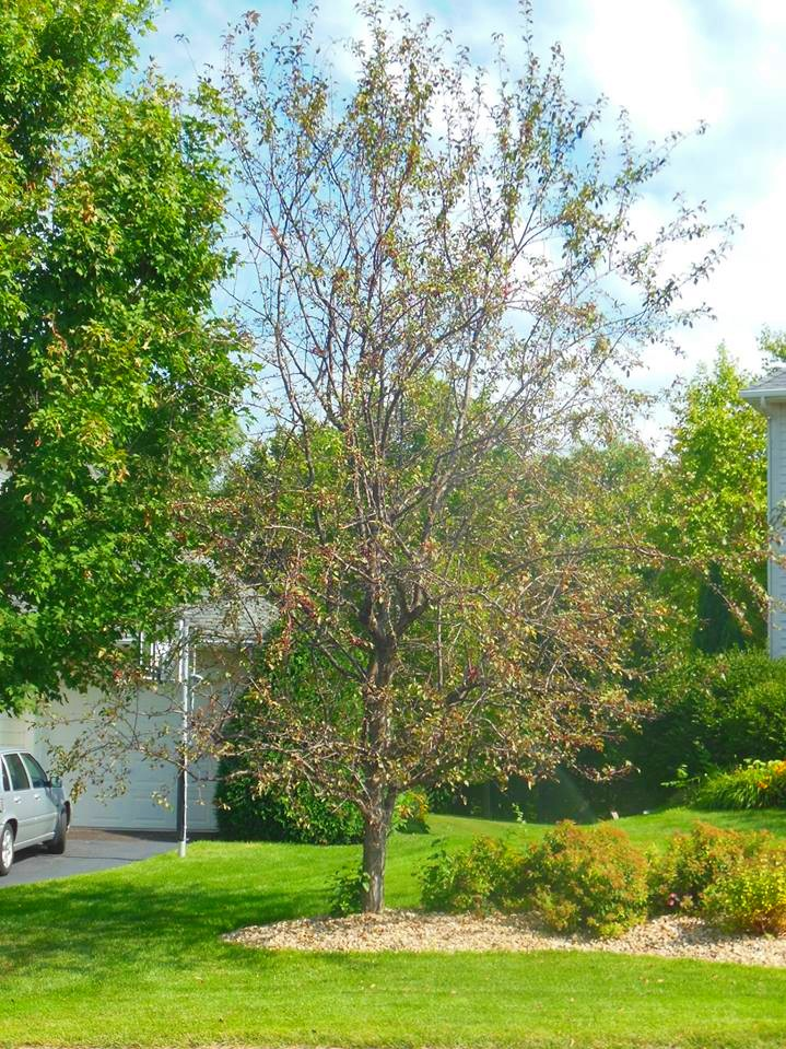 Apple scab has caused this crabapple tree to appear thin and unhealthy.