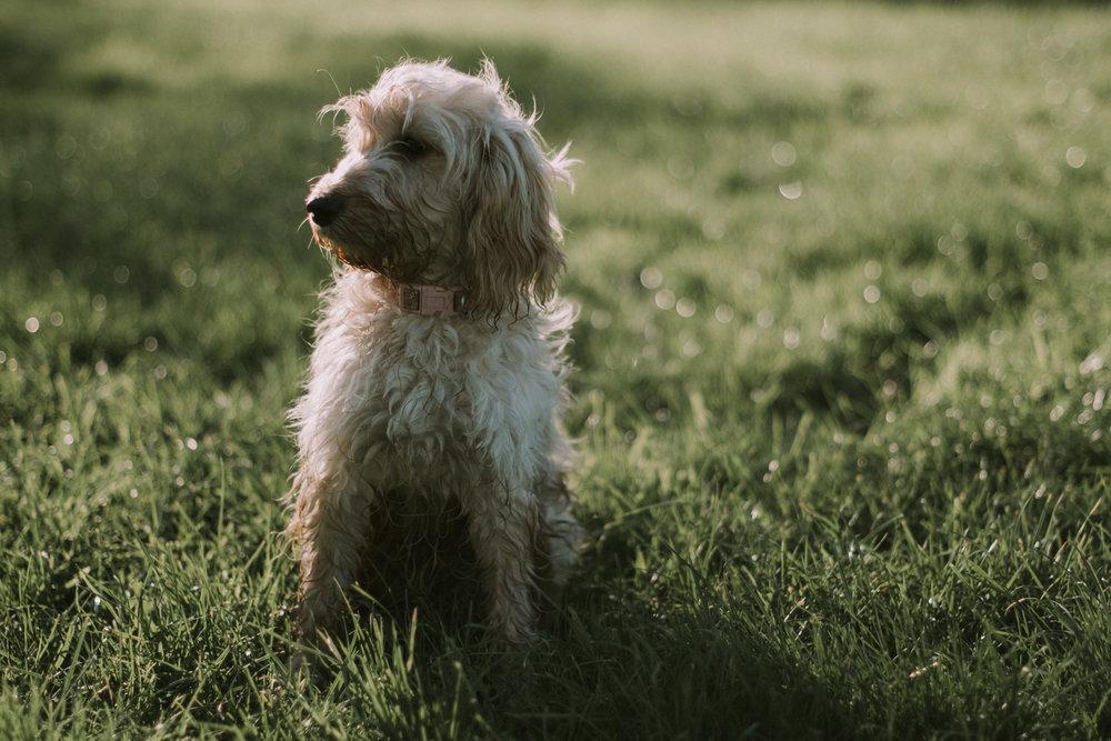 northwest dog and pet portrait photographer cheshire (1 of 1).jpg