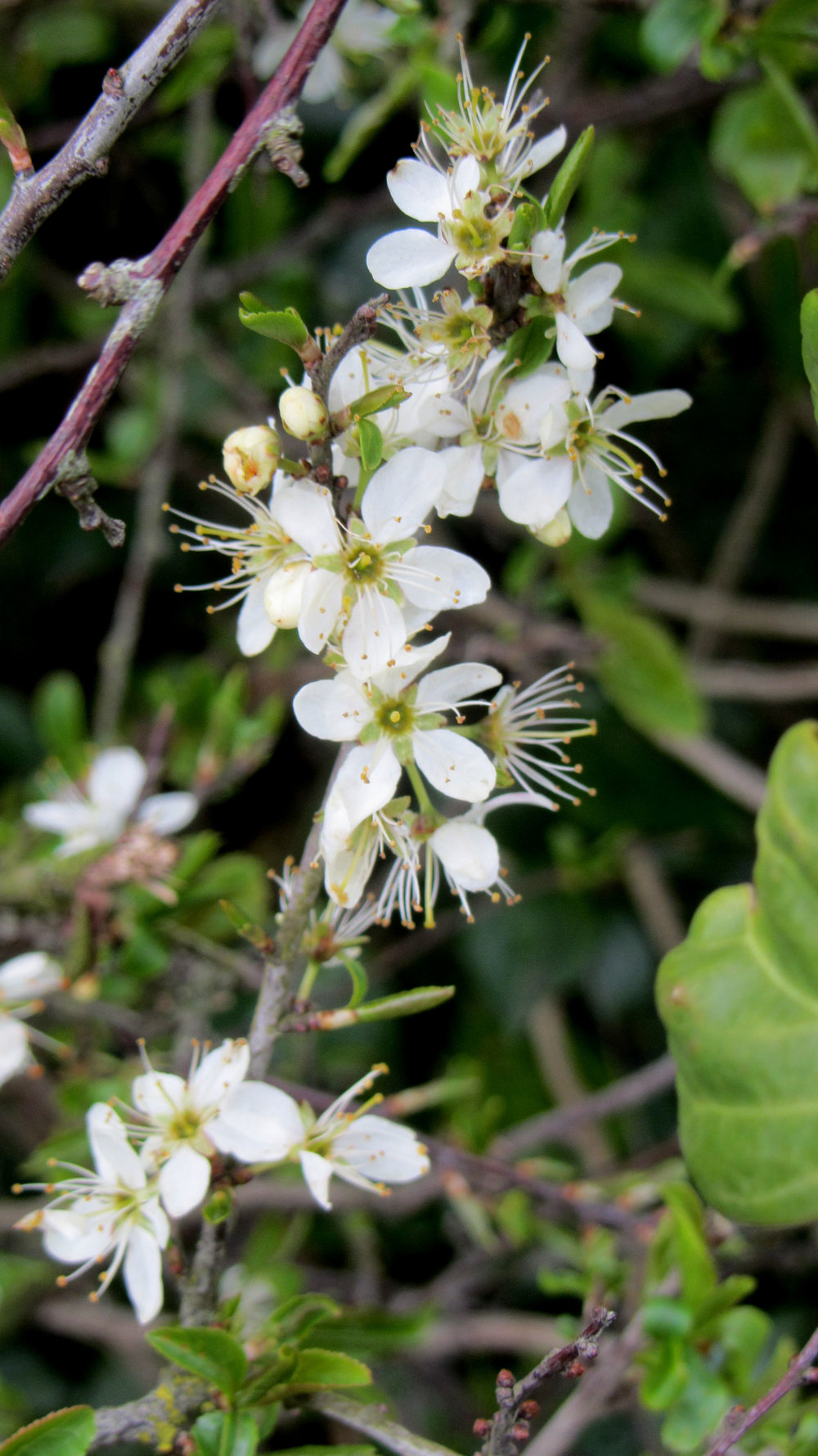 The delicate Blackthorn flower has fierce thorns!