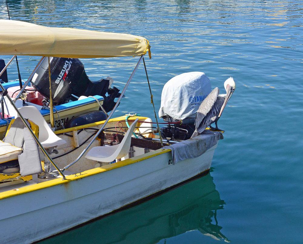 Marina-Pelican.jpg