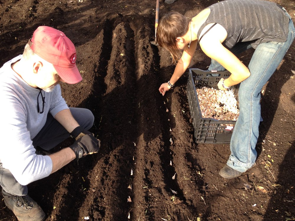 Students in the Chicago Botanic Garden's Windy City Harvest sustainable urban agriculture program plant garlic in fall 2014.