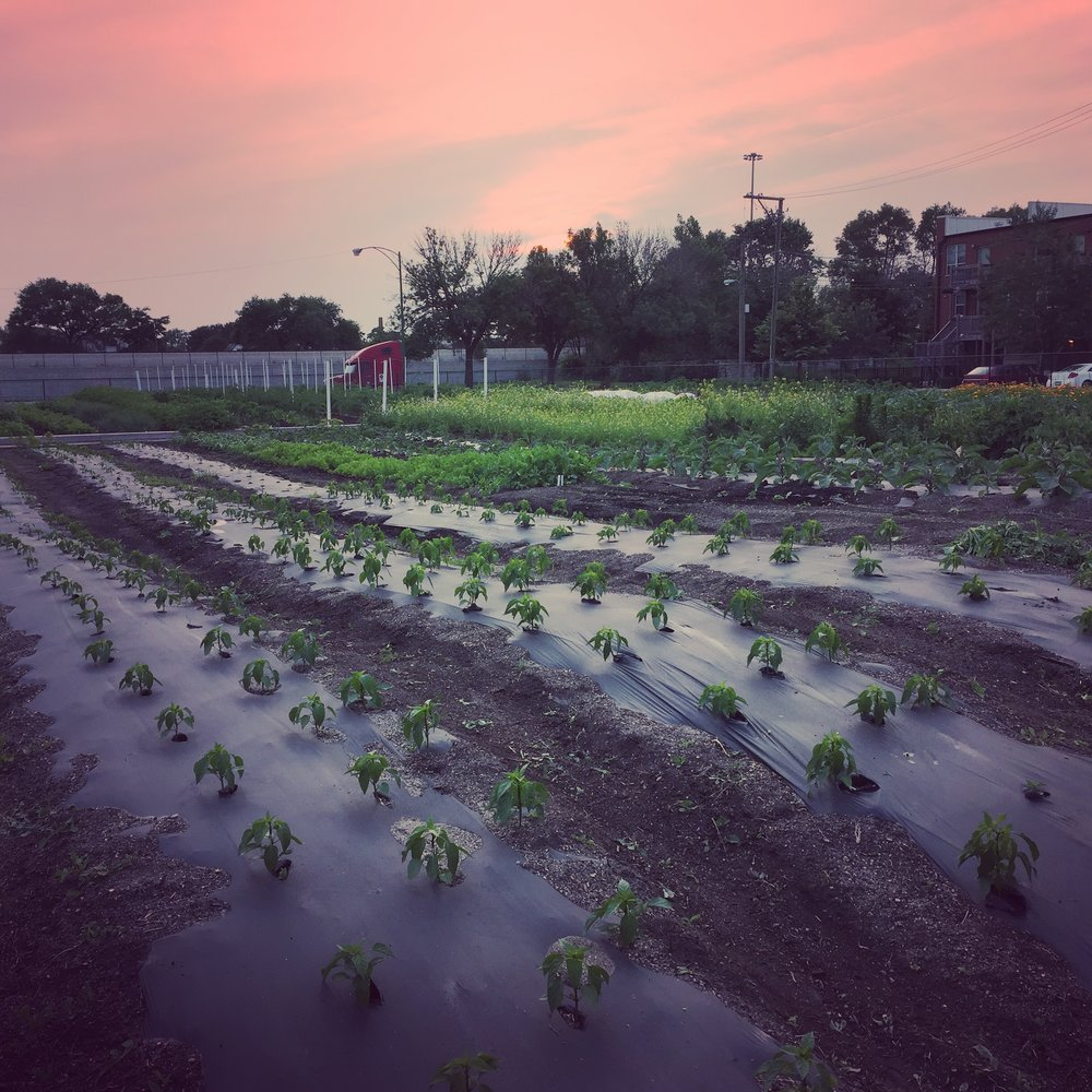 Sun sets over Creciendo Farms, a small farm business that operated in Chicago at Windy City Harvest's Legends Farm Incubator site.