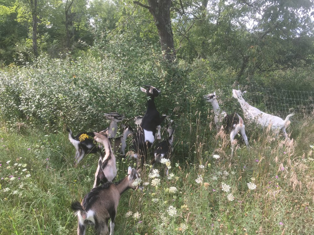 Doelings and dry does snack on a delicious shrub in the new pasture.