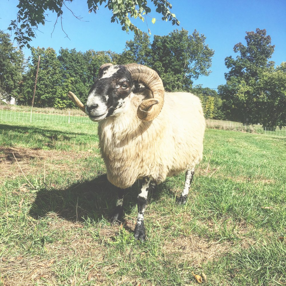 "Monday ""The Prince,"" the Scottish Blackface ram."