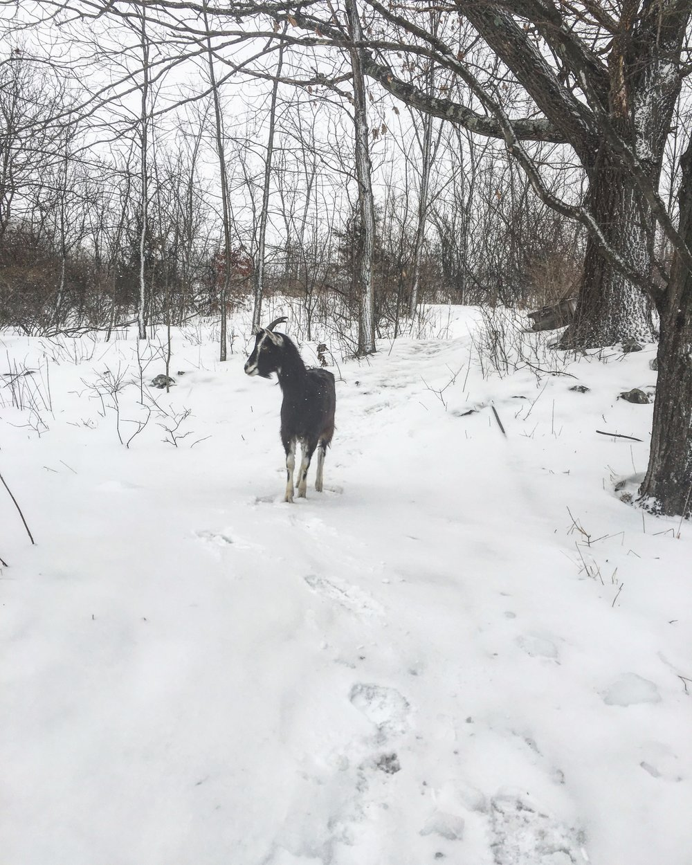 Lulu, my brave little toaster, walking back down to the doeling barn the morning after our adventures.